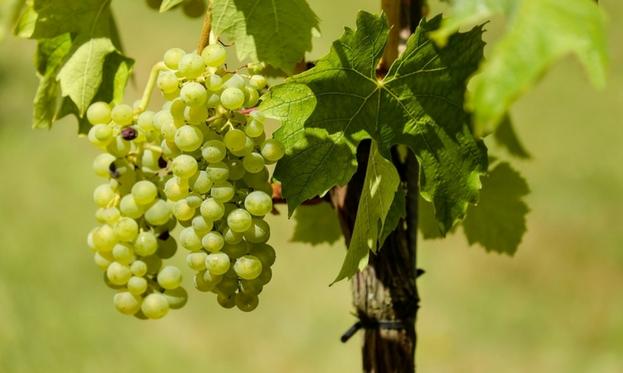Produzione vino biologico