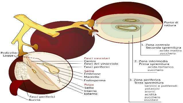 Uva, ecco dove si trova l'acido tartarico