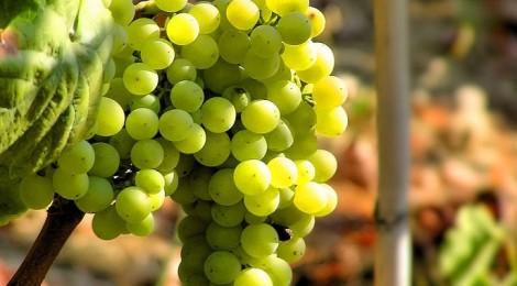 prosecco vitigno